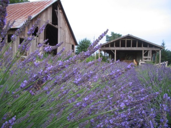 Enjoy all things lavender Saturday, July 30 at the Heisen House 7th Annual Lavender Festival. Michele Bloomquist