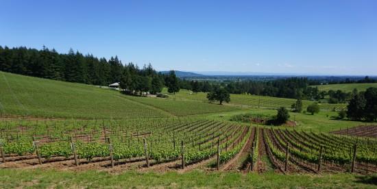 On their 12 ½ acre site, Vidon Vineyard grows predominantly pinot noir—— Brigita Clone 777, Mirabelle Clone 115 and Hans Clone Pommard. Dan Eierdam.