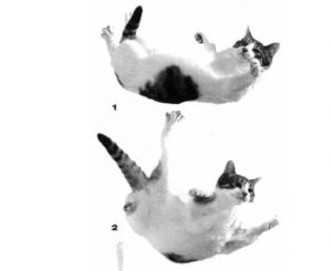 How DO Falling Felines Land On Their Feet?