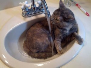 Does Your Cat Drink From the Sink?