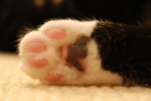 Fascinating Facts about Pussycat Paws
