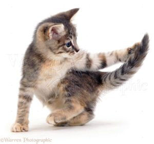 When Cats Chase Their Tails: Play or Problem
